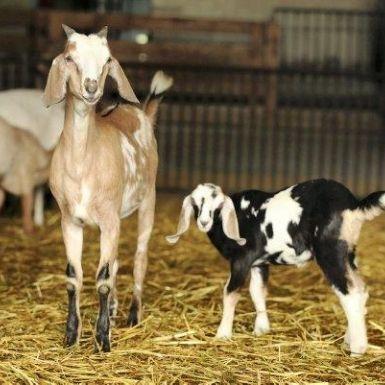 Fromages de chèvre fermiers