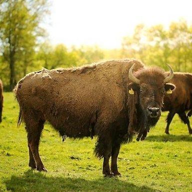 Bison du Périgord