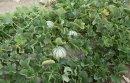 Melons Lajaunie
