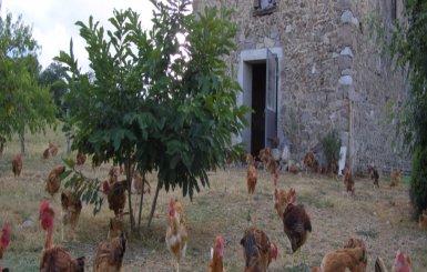 Les poulets de Jacquotte et Lucien