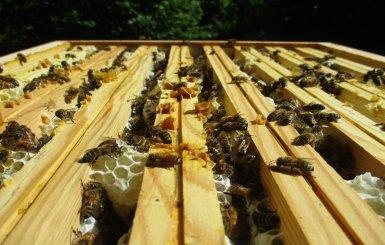Cédric Alamargot - apiculteur