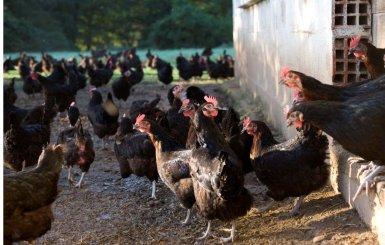 Ferme avicole des Grands champs